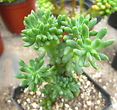 팔천대철화21|Sedum corynephyllum