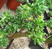 팔천대철화70|Sedum corynephyllum