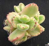 웅동자금 0718 Cotyledon tomentosa ssptomentosa