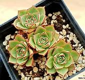 원종롱기시마 9-18|Echeveria longissima