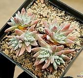 화이트그리니(자연군생) 9-22|Dudleya White gnoma(White greenii / White sprite)