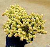 희성금 9-26|Crassula Rupestris variegata