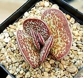 어소금 9-55|Adromischus maculatus