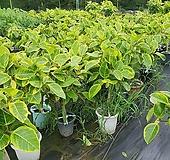 뱅갈고무나무 최강 목대형성 80~120cm Ficus elastica