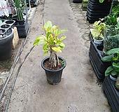 뱅갈고무나무초강력목대형성 70~90cm Ficus elastica