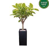 뱅갈고무나무 사각화분 개업화분 사무실식물 Ficus elastica
