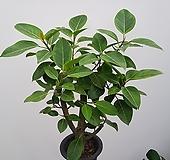 벵갈고무나무(사진배송) Ficus elastica