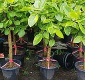 뱅갈고무나무 Ficus elastica
