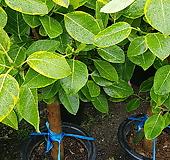 뱅갈고무나무  055 번 Ficus elastica