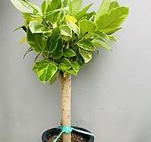 뱅갈고무나무 (동일품배송) Ficus elastica