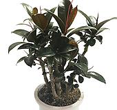 미니종멜라니고무나무(중품) Ficus elastica