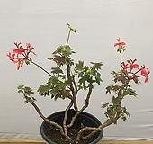 벤쿠버제라늄(묵은아이) Geranium/Pelargonium