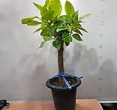 뱅갈고무나무  키 80~90cm가량 Ficus elastica