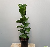 떡갈고무나무   일자형    랜덤발송 Ficus elastica