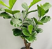 떡갈고무나무 (목대굵은 대품) 동일품배송 Ficus elastica