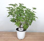 로즈제라늄/ 구문초 / 묵은둥이 / 사진상품발송 -1 / 한빛농원 Geranium/Pelargonium