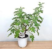 로즈제라늄/ 구문초 / 묵은둥이 / 사진상품발송 -2 / 한빛농원 Geranium/Pelargonium