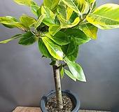 명품뱅갈고무나무(한목대) 농장직영판매  불링불링해요 Ficus elastica