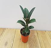 멜라니 고무나무 Ficus elastica