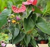 안스리움/안시리움|Anthurium andraeaeanum