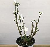 제라늄(묵은아이) Geranium/Pelargonium