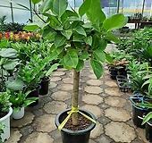 뱅갈고무나무/굵은목대/높이105센치 Ficus elastica