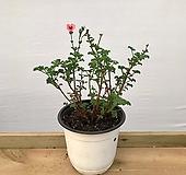 랜디제라늄 Geranium/Pelargonium