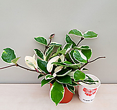 호야(풍성소품)|Hoya carnosa