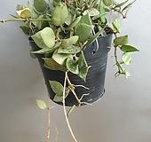 호야 코니아나실버(수입식물)|Hoya carnosa