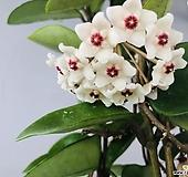꽃피는호야1|Hoya carnosa