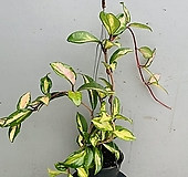 호야(빨강)동일품배송|Hoya carnosa
