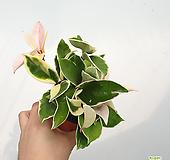 호야 / 핑크빛호야 / 공기정화식물 / 한빛농원 / 소품|Hoya carnosa