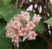 호야.파라시티카(분홍색별사탕모양꽃).꽃색깔예뻐요.잎모양도 예뻐요.향기좋은향.인테리어효과.공기정화식물.꽃눈많아요.|Hoya carnosa