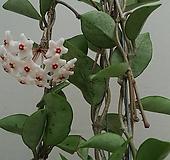 호야.카노사.흰색.(아이보리에밤색림프색).스마일.인테리어효과.공기정화식물.꽃눈이 많아요.|Echeveria J.C.Van Keppel