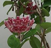 호야.카노사(빨강색).인테리어효과.공기정화식물.꽃눈이 많아요..|Hoya carnosa