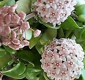 호야.무늬컴팩타.무늬쭈꾸리(분홍색꽃).꽃색깔예뻐요.향기좋은향.인테리어효과.공기정화식물|