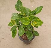 뱅갈고무나무 여름특집 50개한정판 557021912 Ficus elastica
