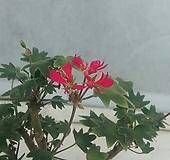수에도브슨제라늄 Geranium/Pelargonium