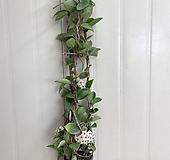 꽃피는 호야 #3|Hoya carnosa