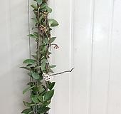 꽃피는 호야 #4|Hoya carnosa