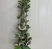 꽃피는 호야 #5|Hoya carnosa