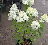 목수국/여름수국/라임라이트(100-120cm) Hydrangea macrophylla