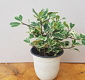 하트고무나무 Ficus elastica