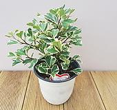 스윗하트 고무나무 Ficus elastica