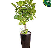 뱅갈고무나무 개원축하화분 화초 관엽 거실화분 Ficus elastica
