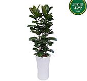 고무나무 사기분 개업축하화분 140~150cm Ficus elastica
