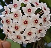 흰꽃 호야 [특가]|Hoya carnosa