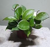 소원호야 소품 공기정화식물 15203520|Hoya carnosa