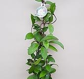 소원호야(대품)|Hoya carnosa