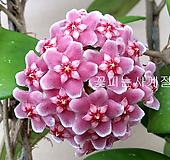 꽃피는호야꽃대대품)|Hoya carnosa
